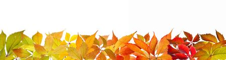 panoramic nature: Colorful autumn Virginia Creeperleaves frame, isolated on white background.