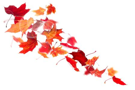Autumn red maple leaves falling down on white background.