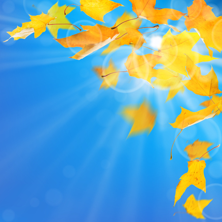 withering: Autumn yellow maple leaves, against sun and blue sky background. Stock Photo