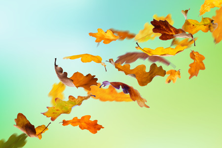 Falling autumn oak leaves on natural background.