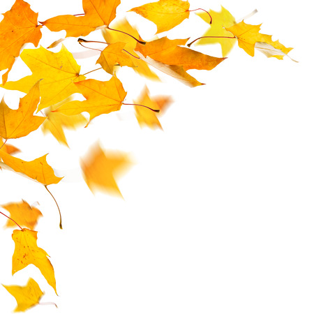 freefall: Autumn yellow maple leaves,  on white background.