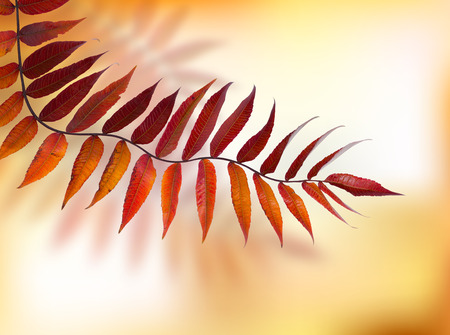 Autumn branch Rhus typhina on natural background.