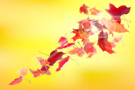 leaves falling: Autumn red maple leaves falling down on natural background. Stock Photo
