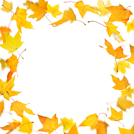 Frame from yellow falling autumn maple leaves, on white background.