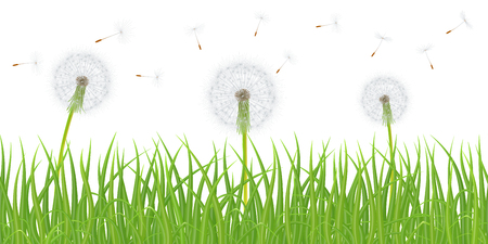 High quality green grass with dandelion flowers on white background, vector illustration.