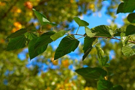 Tree branch with green leaves  against blue sky and defocused green background