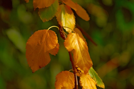Tree branch with yellow leaves  against defocused green background