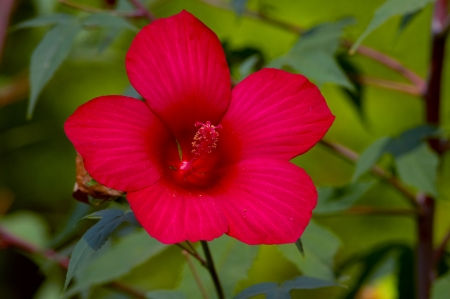 Close up of beatiful red hibiscus flower on green backgound
