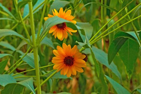 Two beautiful yellow heliopsis flowers on green background