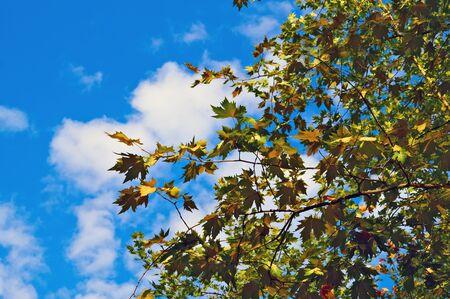 Maple leaves against blue sky