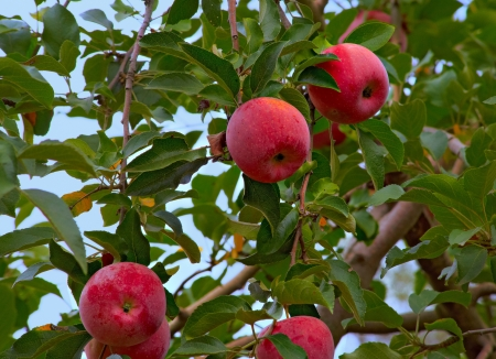 Ripe red apples on a tree in autumn  Blue sky visible                                Stock Photo