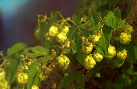 Close-up of hop cones with colorful bug sitting on