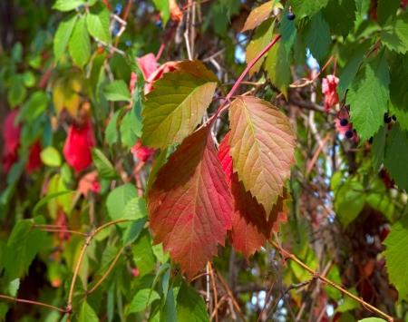 Virginia Creeper Climbing Plant in Autumn
