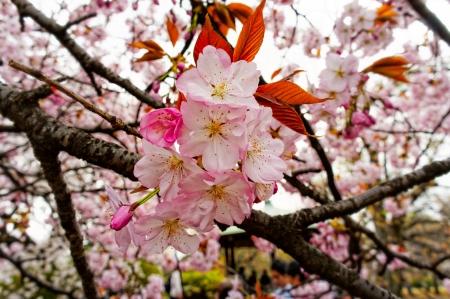 Sakura spring blossom  Tokyo, Japan  Shallow DOF Stock Photo