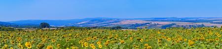 Sunflower field panorama Stock Photo