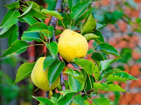 quince on the tree and green leaves Stock Photo