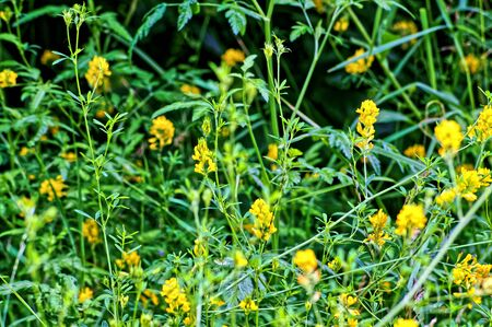 Green grass and yellow flowers background or texture Stock Photo