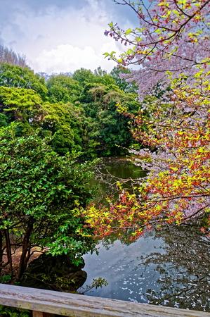 Sakura spring blossom over pond in Japan.