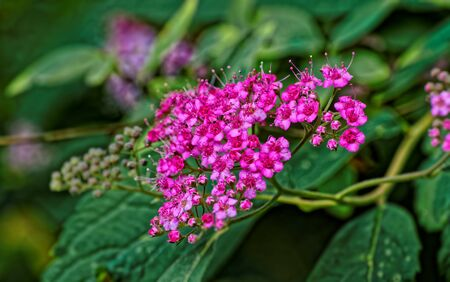 Pink flowers over green leaves background or texture