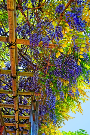 wistaria: wistaria spring blossom in Japan, background or texture Stock Photo