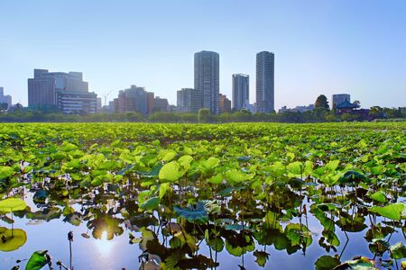 pond: Lotus at Shinobazu Pond in Ueno Park, Tokyo, Japan