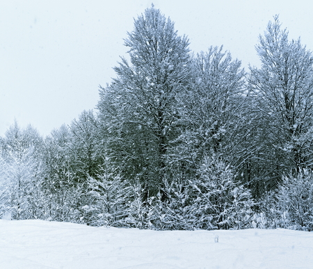 a blizzard: Winter forest under snow after december blizzard Stock Photo