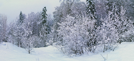 Winter forest under snow after december blizzard Stock Photo