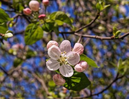 Apple tree blossom closeup view