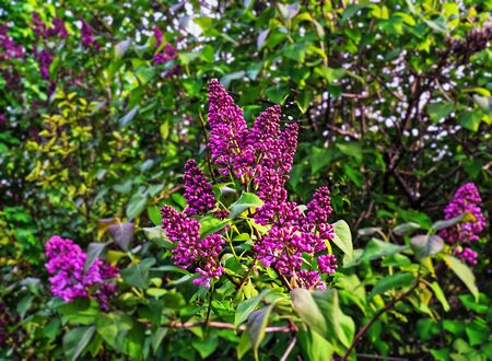 Lilac spring blossom with buds and flowers Stock Photo