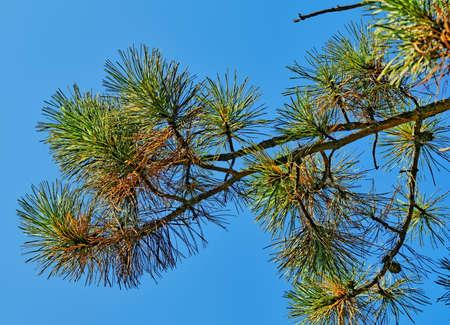 Pine branch against blue sky in summer