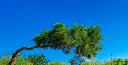 crooked: crooked pine against bright blue sky background