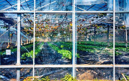 Greenhouse at vineyard near Nikko town, Tochigi Prefecture, Japan. View through plastic film.