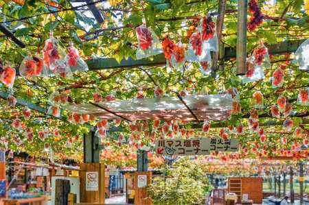 grape vines: Vineyard near Nikko city, Tochigi Prefecture, Japan.