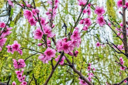 Springtime peach blossom against light blue sky and young leaves