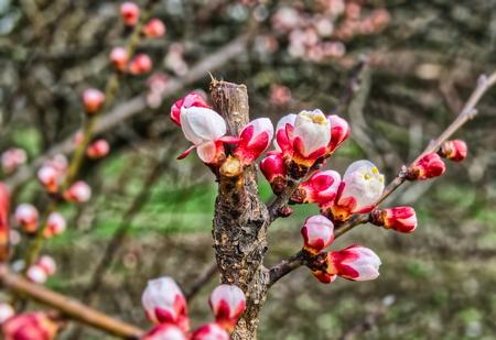 springtime cherry blossom against fresh green foliage