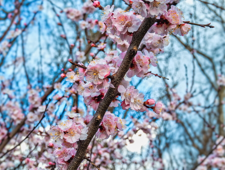 springtime cherry blossom against bright blue sky Stock Photo