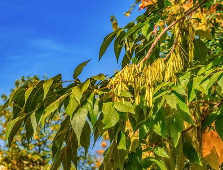 Ash semi di albero autunno vista