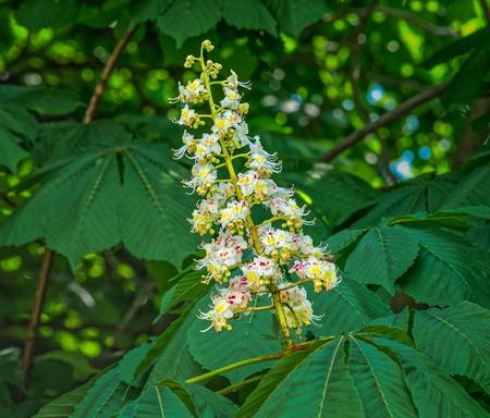 Horse-chestnut blossom against green leaves in spring