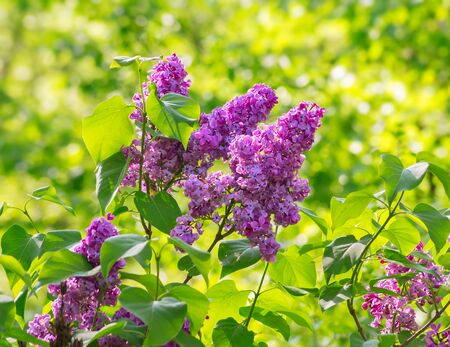 Lilac blossom in spring against green leaves