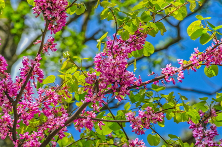 Judas tree in spring against blue sky and green leaves Stock Photo