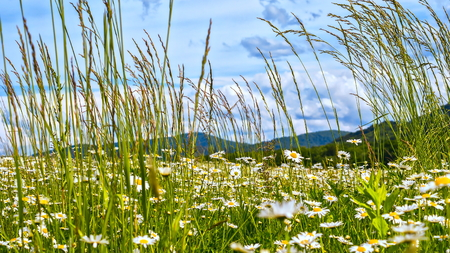 ?amomile field near green hills