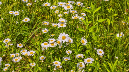 Camomile meadow background or texture