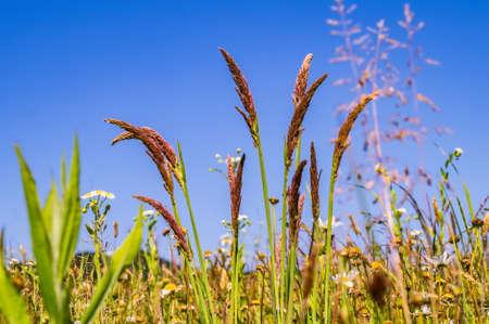 grass on summer field against bright blue sky