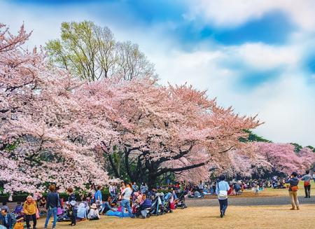 Springtime sakura blooming at Shinjuku Gyoen Park, Tokyo, Japan