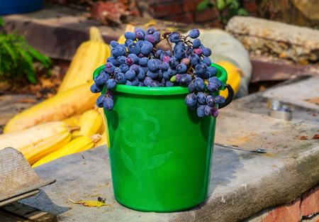 Blue ripe grapes in green plastic bucket Foto de archivo