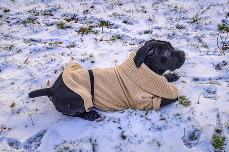 Black puppy in white sweater lying on the snow Stock Photo
