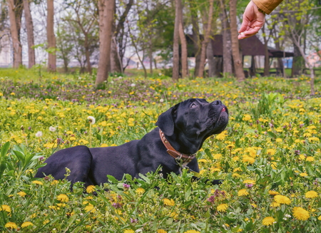 Black dog in dandelions watching his masters hand