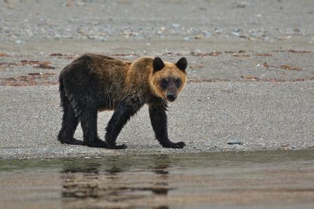 kuril: One year old kuril brown bear walking along the seashore of Sea of Okhotsk. Kunashir island, Russia.