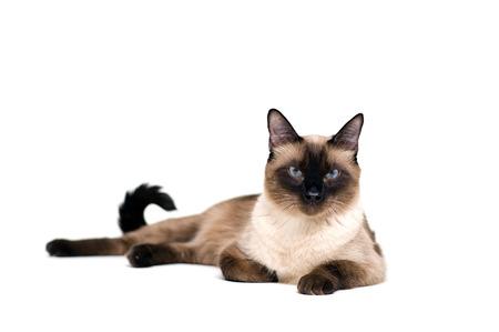 purebred: Purebred cute siamese cat lying studio shot