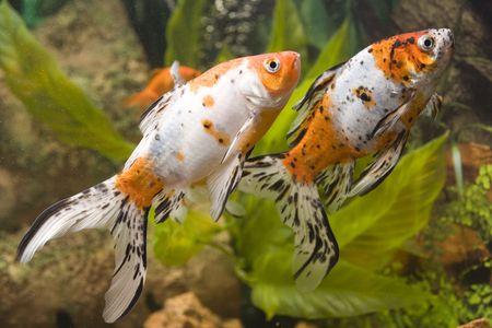 Two Goldfish in the aquarium photo